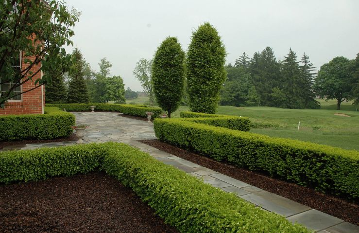 Boxwood – Green Mountain